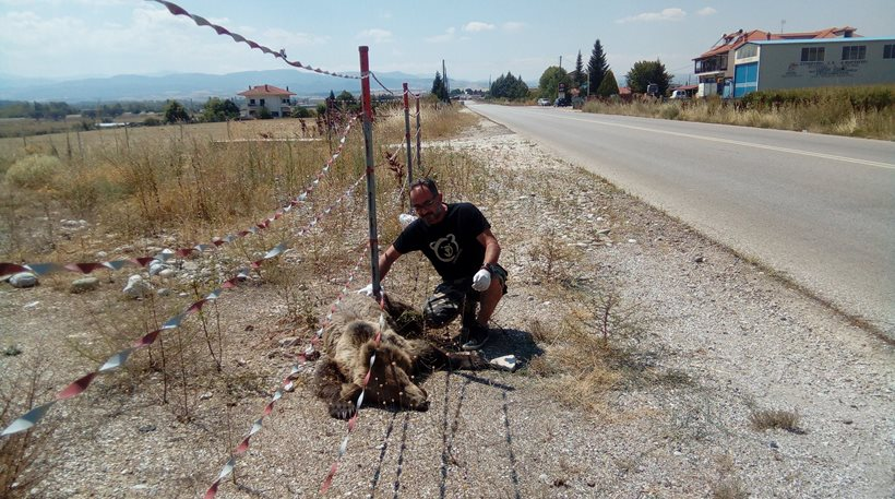 Καστοριά: Νεκρή ακόμη μία αρκούδα σε τροχαίο