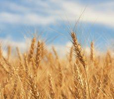 Macro of a piece of wheat amongst many.